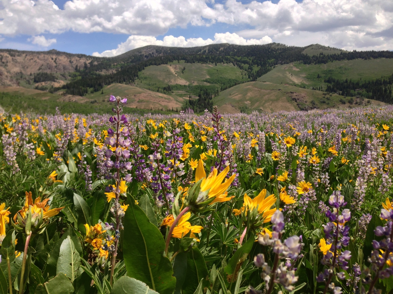 2014-06-24_12_17_46_Wildflowers_east_of_Elko_County_Route_748_(Charleston-Jarbidge_Road)_along_the_border_of_the_Mountain_City_and_Jarbidge_ranger_districts_in_Copper_Basin,_Nevada